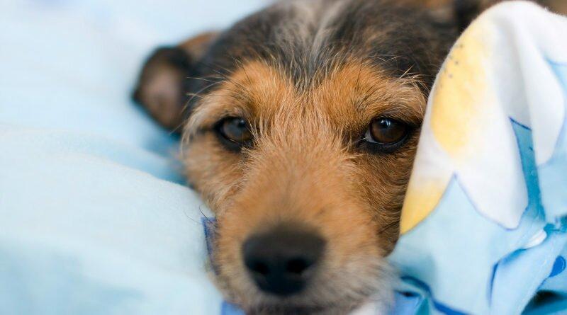 Leishmaniose visceral canina já tem tratamento - Clube das Comadres