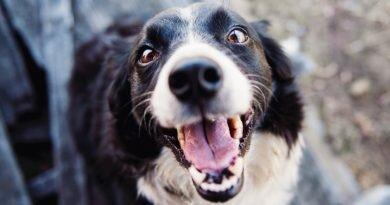 cães - latidos- controle- técnica